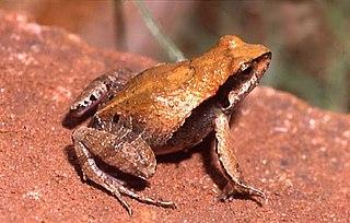 <i>Physalaemus</i> Genus of amphibians