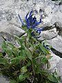 Phyteuma sieberi RHu 01.JPG
