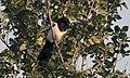 Pica pica - Eurasian Magpie 04.jpg