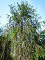 Picea abies cranstonii 01.JPG