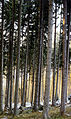 Picea abies forest on Golija Mountain.jpg