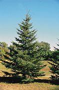 Picea glauca tree.jpg