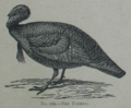 Picture Natural History - No 160 - The Turkey.png