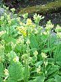 Pierwiosnek wyniosły Primula eliator.jpg