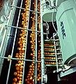 PikiWiki Israel 10106 Gan-Shmuel - in the juice factory 1987.jpg