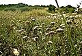 PikiWiki Israel 29250 Carthamus lanatus.jpg