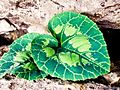 PikiWiki Israel 29452 Cyclamen Leaves.jpg
