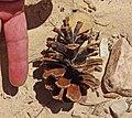 Pine cone - Flickr - Andrey Zharkikh.jpg