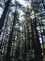 Pines (14878671285).jpg