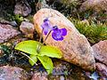Pinguicula corsica, near Évisa (Corsica, France).jpg