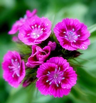 Dianthus barbatus - Image: Pink Sweet William flowers