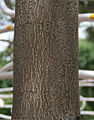 Pink Trumpet Tree (Tabebuia impetiginosa) trunk in Hyderabad, AP W 297.jpg