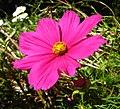 Pink flower 01 Orcas.JPG