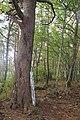Pinus densiflora (Sarunomatsu on Mount Tokura).jpg