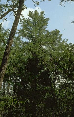 Ozark–St. Francis National Forest - Image: Pinus echinata Ozarks