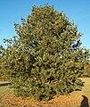 Pinus flexilis.jpg