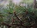 Pinus hwangshanensis foliage.jpg