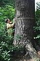 Pinus strobus JPG1b.jpg
