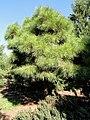 Pinus taeda 'Little Albert' - J. C. Raulston Arboretum - DSC06187.JPG