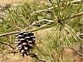 Pinus virginiana Scrub Pine Branch 3200px.jpg