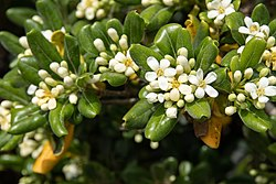 Pittosporum tobira 02.jpg