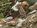 Plain Mountain Finch (Leucosticte nemoricola) (25430242946).jpg