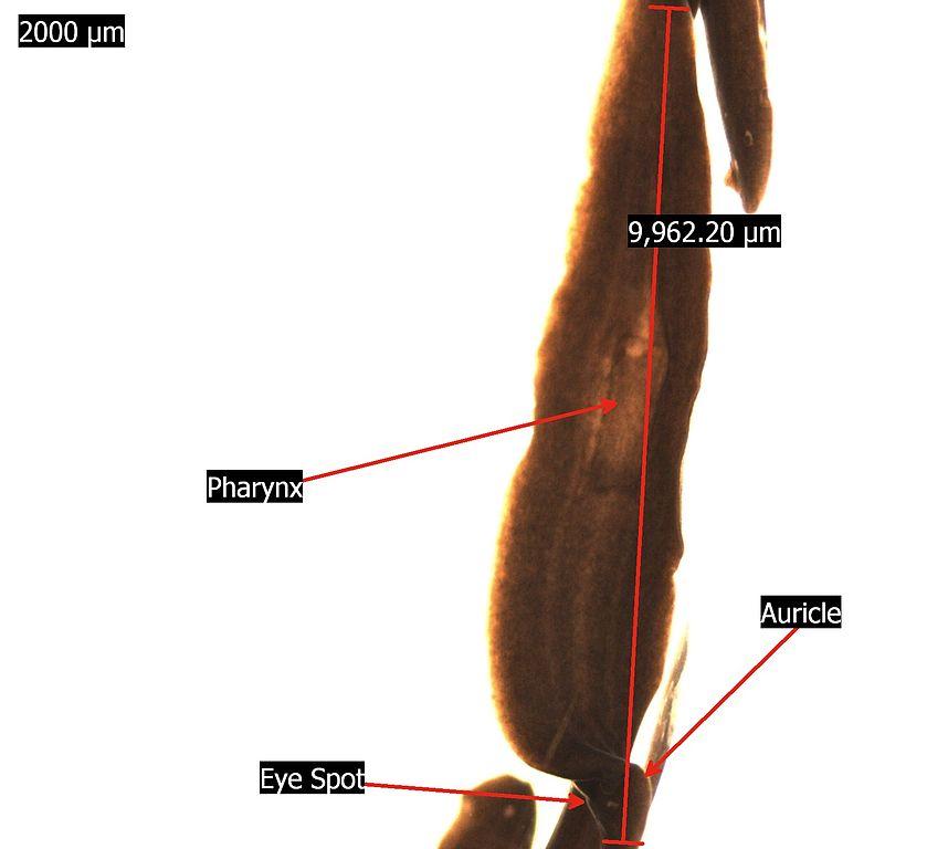 Fileplanaria Flatworm Labeled Microscopeg Wikimedia Commons
