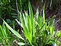 Plantago lanceolata Habitus 2010-4-02 SierraMadrona.jpg