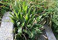 Plantago lanceolata Heinäratamo - IMG 7938 C.JPG