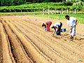Plantando gladíolos, Galiza.jpg
