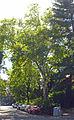 Plantane Huegelgasse 7.jpg