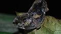 Planthopper (Ricaniidae) (8681014946).jpg