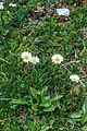 Plants from Vallon peaks Sella 02.jpg