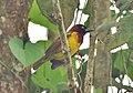 Ploceus grandis cropped.jpg