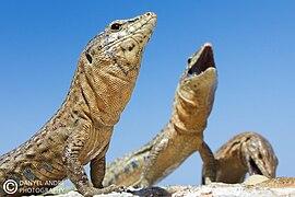 K Dragon Lizard Dragonera - Wikipedia