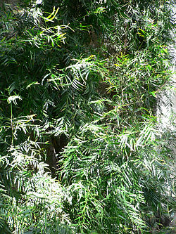 definition of afrocarpus
