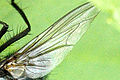 Polietes.lardarius.wing.detail.jpg