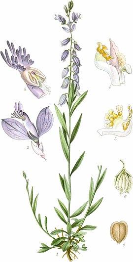 Gewöhnliche Kreuzblume – Wikipedia