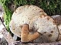 Polyporus brumalis.jpg