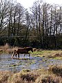 Pony fording a flood, north of Fulliford Passage, New Forest - geograph.org.uk - 288652.jpg