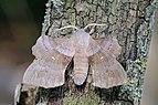 Poplar hawk-moth (Laothoe populi populi).jpg