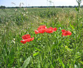 Poppies lining a wheatfield - geograph.org.uk - 192856.jpg