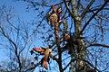 Populus balsamifera Oulu 01.jpg