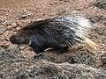 Porcupine 3.jpg