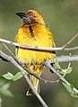 Portrait of a Cape Weaver, Ploceus capensis at Walter Sisulu National Botanical Garden (10121099354).jpg