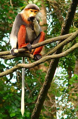 Rotschenkliger Kleideraffe (Pygathrix nemaeus)