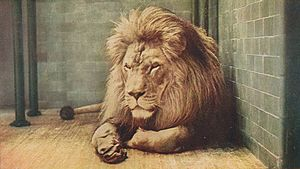 Wildlife of Algeria - Barbary lions have not been seen in Algeria since 1922.