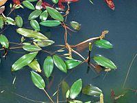 P. distinctus