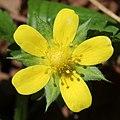 Potentilla indica (flower s8).jpg