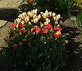 Praha, Troja, Botanická zahrada, květy tulipánů III.JPG